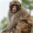 Japanese macaque Puzzle 1.2