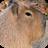 Capybara Wallpapers 1.0