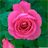 RoseWallpapers 1.0 APK