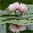 Real Water Lily Live Wallpaper 1.3 APK