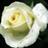White Rose icon