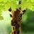 Giraffe HD Parallax Free 1.0