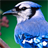 beautiful birds live wallpaper 1.1 APK