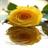 Yellow Rose Shine LWP icon