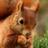 Squirrel Wallpapers 1.1 APK