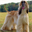 Dog Puzzle: Afghan Hound 3.0.1.0