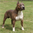 Dog Puzzle: American Staffordshire Terrier 3.0.1.0
