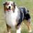 Dog Puzzle: Australian Shepherd 3.0.1.0 APK